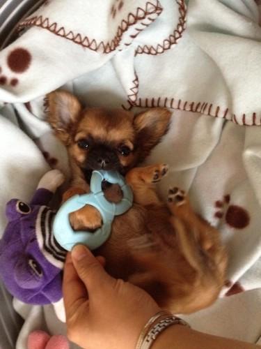 Chihuahua-Harybo-fait-ses-dents