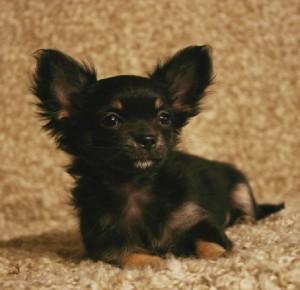 Chihuahua-poil-long-elevage-du-petit-dan