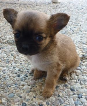 Chihuahua-Harybo-bébé