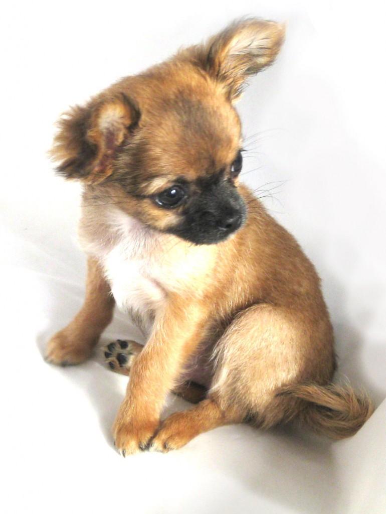 Chihuahua Harybo