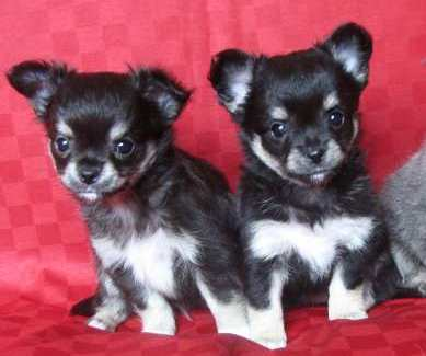chihuahua-elevage-reves-polaires