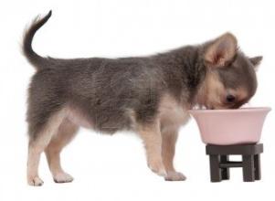 Chihuahua en train de manger ces croquettes