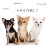 Comment choisir le nom de votre chihuahua ?