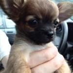 Les formalités et Papiers d'Adoption du Chihuahua