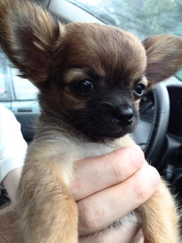 Chihuahua-adoption-1er-jour