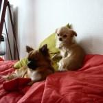 Informations Chihuahua Harybo