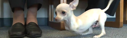 Chihuahua-sans-pattes-avant