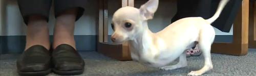 Chihuahuas nés sans pattes avant - Minichihuahua.fr