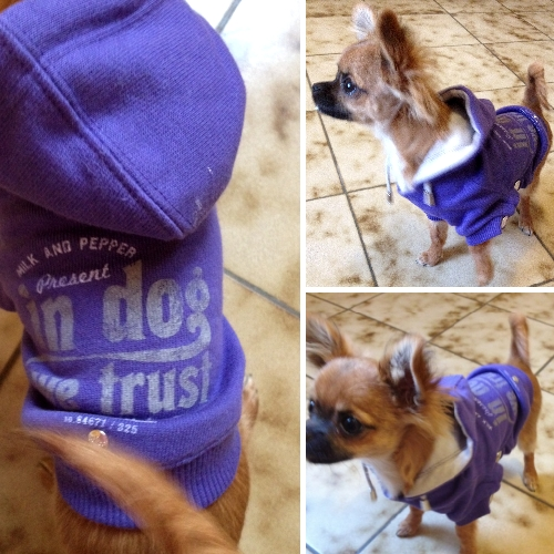 Chihuahua avec sweat violet