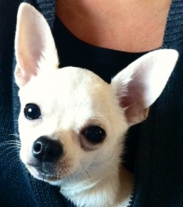 Laura-et-Chanel-gagnant-concours-photo-chihuahua