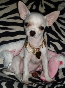 Tifanny-et-Chanel-gagnant-concours-photo-chihuahua