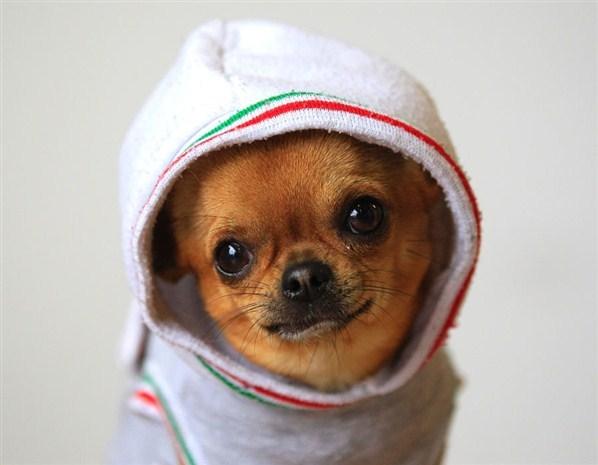 Chihuahua à capuche