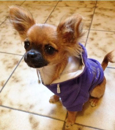 chihuahua-avec-sweat-violet
