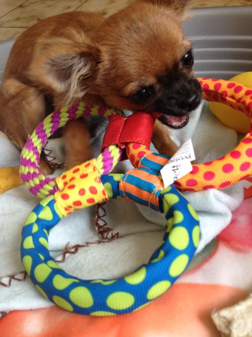 chihuahua-et-jouet-petsafe