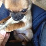Chihuahua Harybo avec son os à mâcher