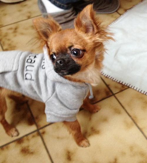Chihuahua-Harybo-Pull-Oh-Pacha