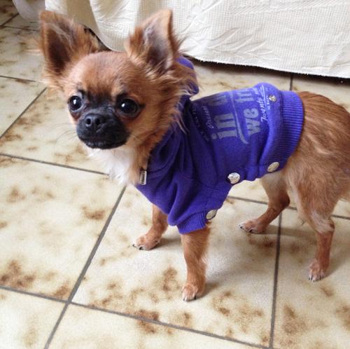 Chihuahua-Harybo-Pull-Sublimemydog