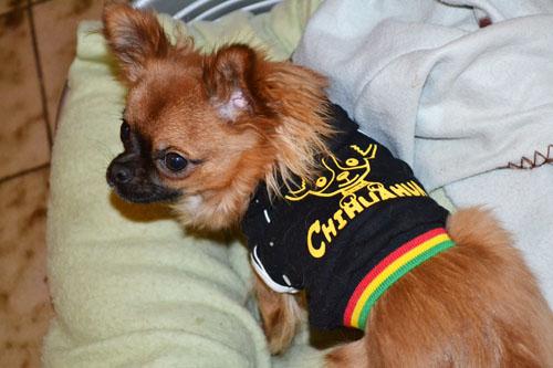 Chihuahua Harybo avec sweat noir