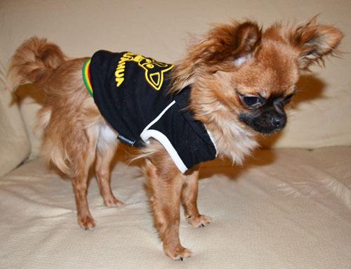 Chihuahua avec sweat noir