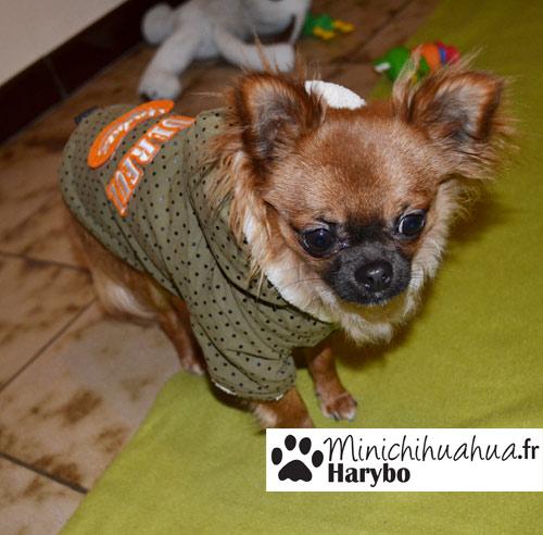 Chihuahua avec manteau pour chien