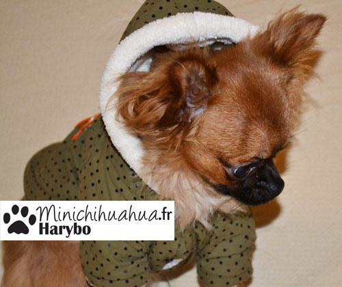 Chihuahua Harybo avec manteau à capuche cani-mode.com