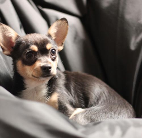 Chihuahua Hélium