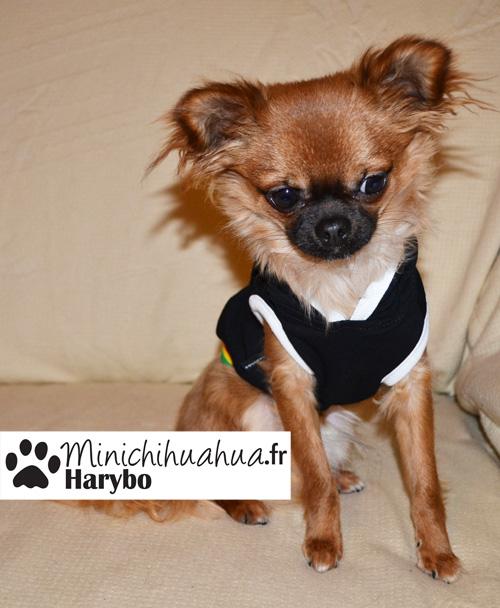 Chihuahua avec sweat pour chien