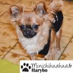 Chihuahua, Chiwawa, ou encore Chiouaoua ?