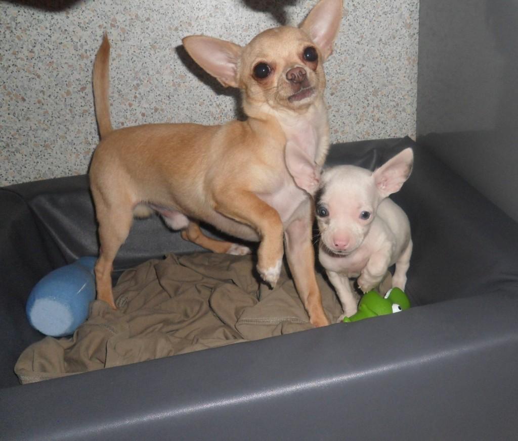 Photo Chihuahua Hulk et Iron