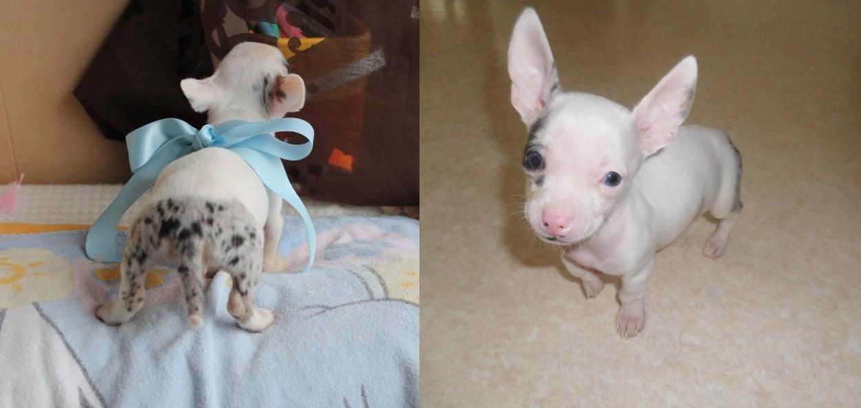 Photo Chihuahua Iron