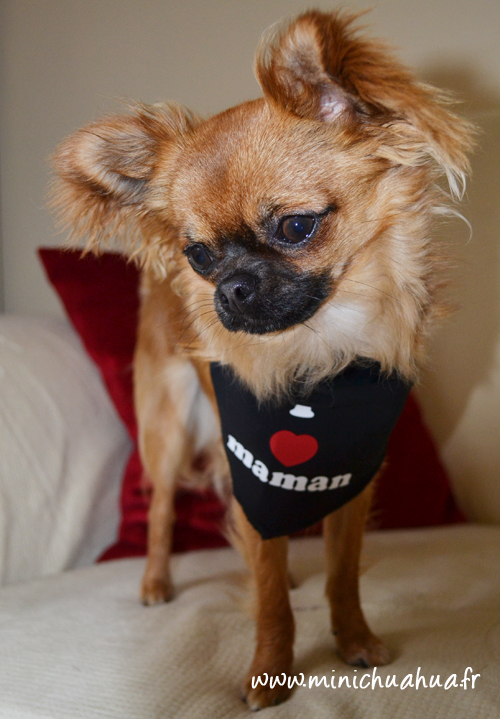 Chihuahua en mode Oh Pacha