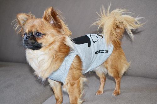 Mode Chihuahua