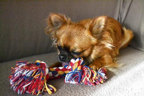 Chihuahua joue avec son jouet