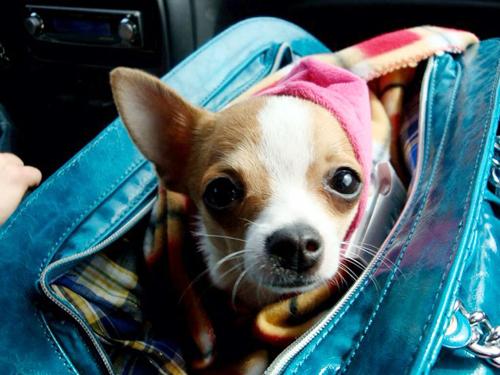 partir-avec-son-chihuahua-en-vacances