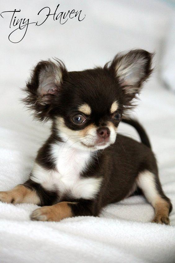 Ou Adopter Son Chihuahua Minichihuahua Fr
