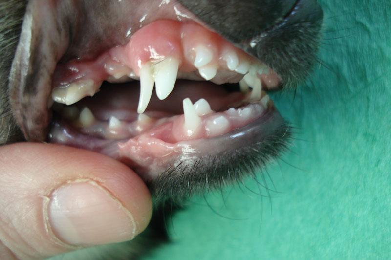 dentiton chihuahua
