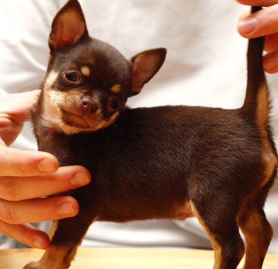 Adopter Un Chihuahua A Poils Longs Ou A Poils Courts Minichihuahua Fr