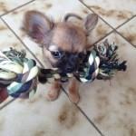 Chihuahua_Joueur