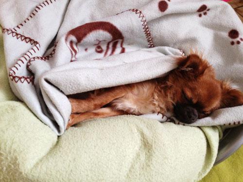 chihuahua-dort-dans-son-panier