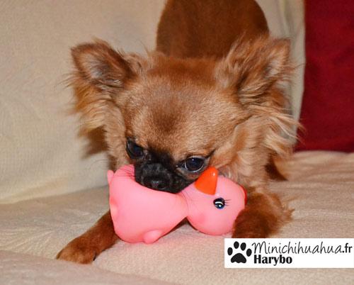Chihuahua qui joue sur le canapé