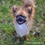 Chihuahua souriant